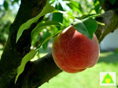 Plod breskve