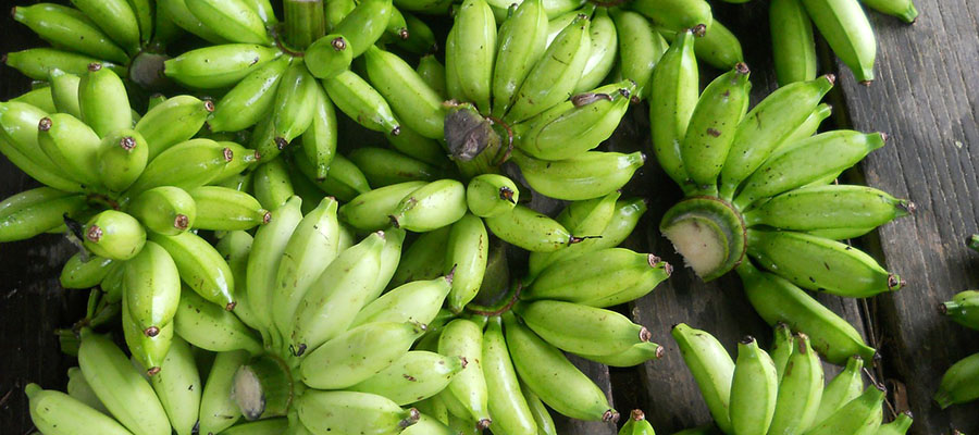 La superbanana OGM per salvare lAfrica  Agrodolce