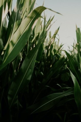 green corn plants