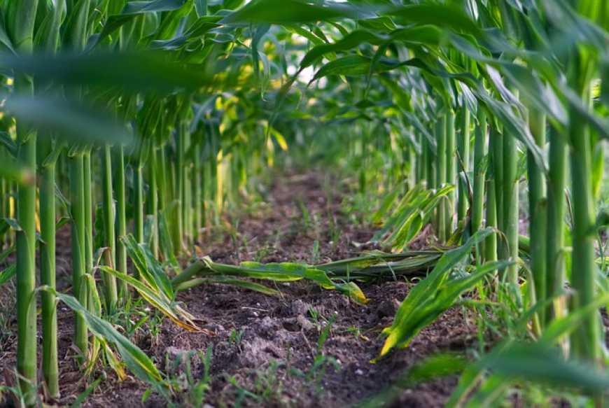 В Україні проведуть польове оцінювання насінницьких посівів