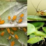 Plagas del huerto. 4 plagas comunes en hortícolas y cómo eliminarlas