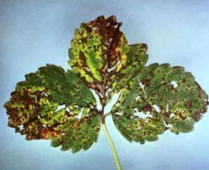 Diferencias entre plagas, enfermedades y malas hierbas