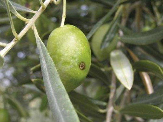 Aceituna atacada por la mosca del olivo