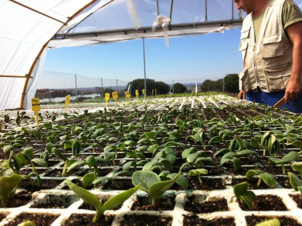 """Semilleros con plántulas germinando en """"La Huerta de Montecarmelo"""""""