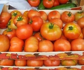 Cosecha de tomates de los huertos ecológicos en Comillas