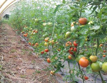 Matas repletas de tomates madurando en uno de los invernaderos