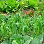 Abono verde para el huerto ecológico. Qué es y cuáles son sus beneficios