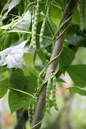 Cultivar judías verdes