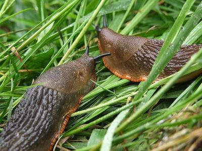 insectos comunes del huerto: caracoles y babosas