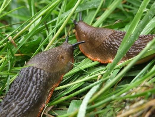 plagas comunes del huerto: caracoles y babosas