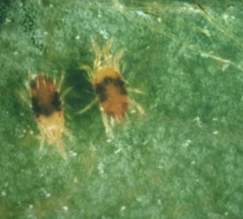 Tetranychus urticae o araña roja