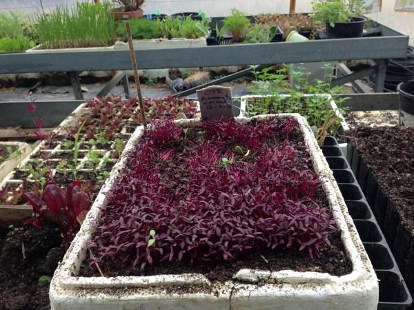 Semillero de plantas para el huerto