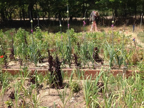 HuertAula recolección de semilla