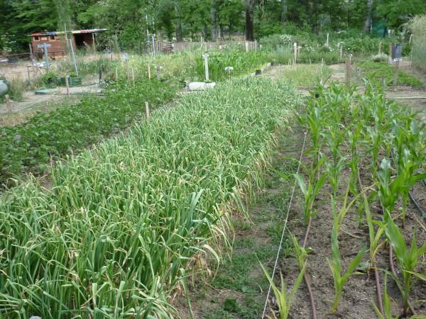 Método Biointensivo en el huerto