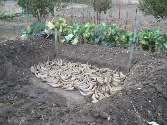 Cuernos biodinámicos preparados para enterrarlos