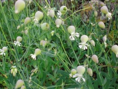 Silene vulgaris, colleja - perfumesylucesdeextremadura.blogspot.com