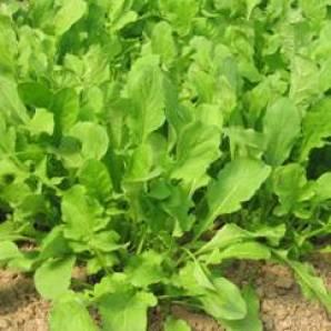 plantas silvestres que se pueden comer: rúcula