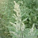 6 Malas hierbas en el huerto: Planta de Cenizo, Juncia…