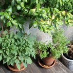 5 Plantas para hacer Té que puedes cultivar tu mismo: Guía completa