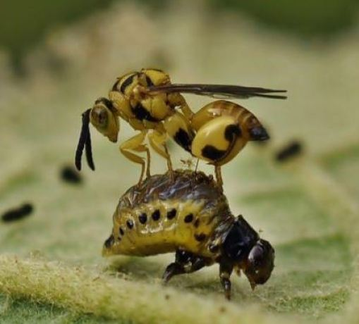 Avispa de la familia Chalcididae realizando la puesta de huevos sobre larva de escarabajo