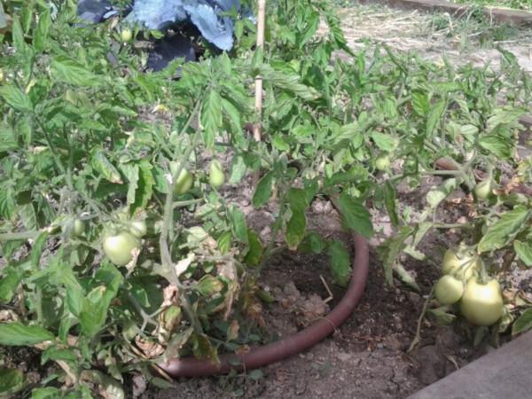 Tomatera en el huerto del CEIP Cristóbal Colón