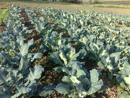 Cultivo de brócoli (Fuente: www.infosiap.siap.gob.mx))