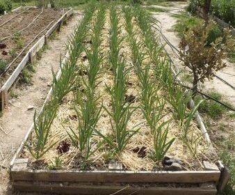 De izquierda a derecha vemos un bancal reservado a hacer abono verde, otro con Kale y otro con ajos.