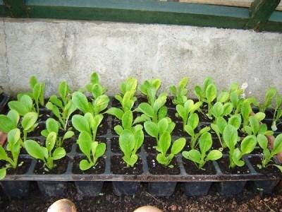 Semillero con planteles