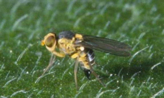 Aquí observamos cómo es la liriomyza trifolii en estado adulto.