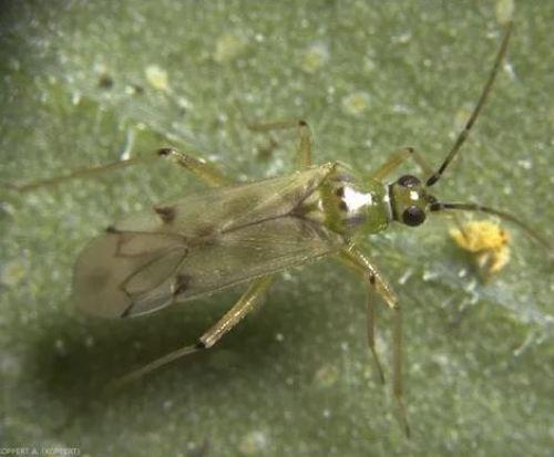 Nesidiocoris, insecto para el control de la Tuta absoluta.