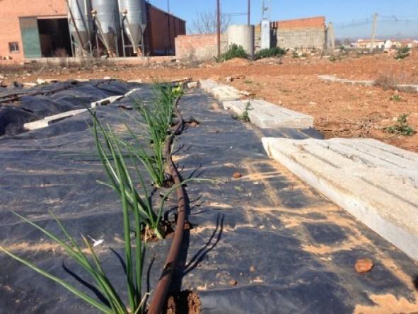 Aquí vemos cómo, con el sol de Marzo, van creciendo la línea de cebollas.