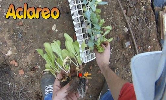 Aquí observamos un plantón en el que han crecido dos plántulas. Es recomendable realizar un aclareo sobre él.