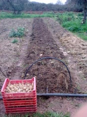 Cosecha de patatas en bancal permanente