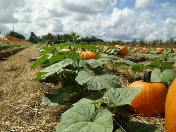 Cómo cultivar calabaza