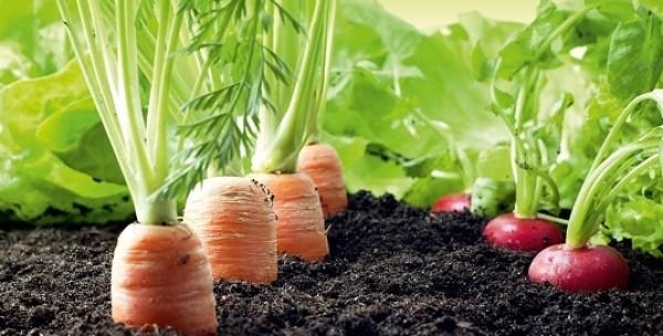 Distancias de siembra entre plantas de zanahorias