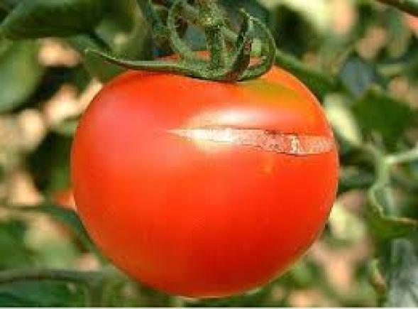 Asolado del tomate