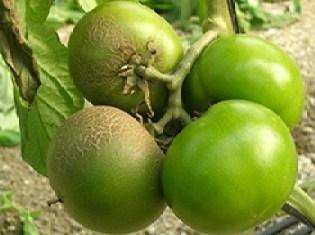 Vasates en tomate (Fuente: www3.syngenta.com)