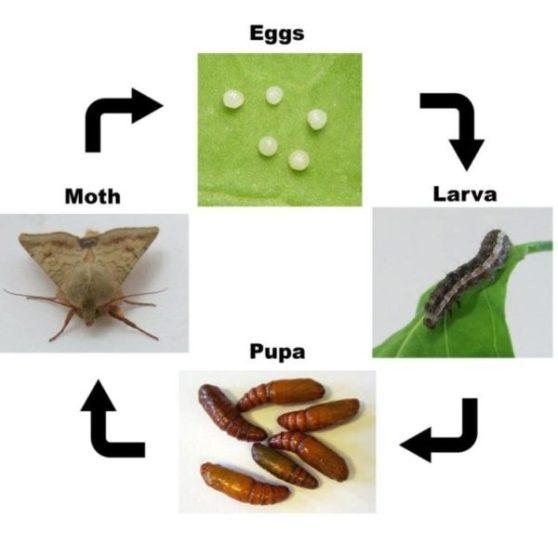 Ciclo biológico de Helicoverpa