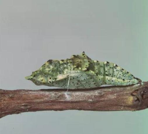 Pupa mariposa de la col.