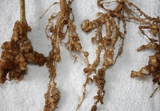 Nódulos de nematodos en raíces (Fuente: www.elhocino-adra.blogspot.com)