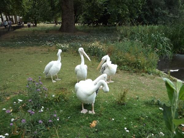 Pelícanos en St. James's Park