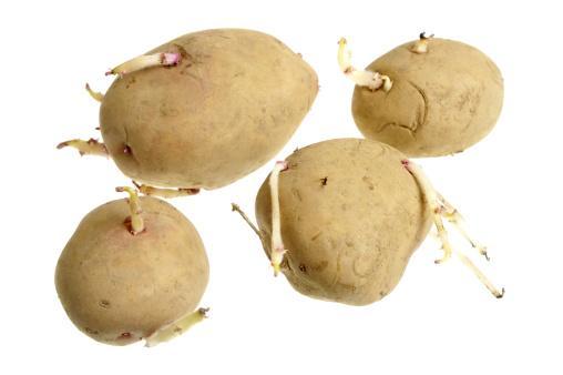Patatas para sembrar (Fuente: www.cl.all.biz)