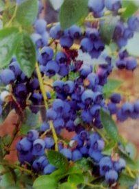 Frutos silvestres cultivados en el huerto