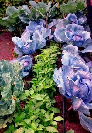 Asociaciones de cultivos buenas: aromáticas con hortícolas