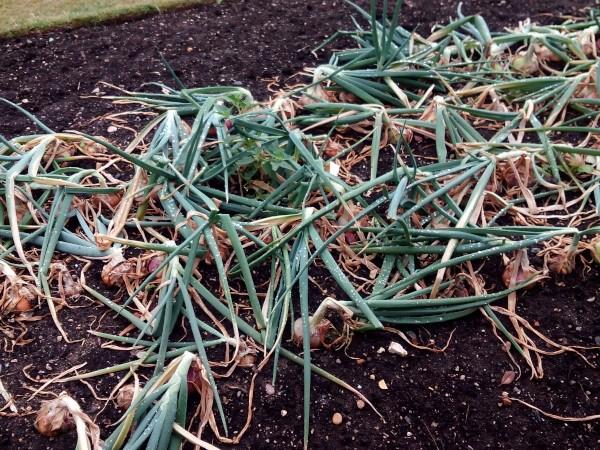 Cosecha de cebollas en Kew on a Plate