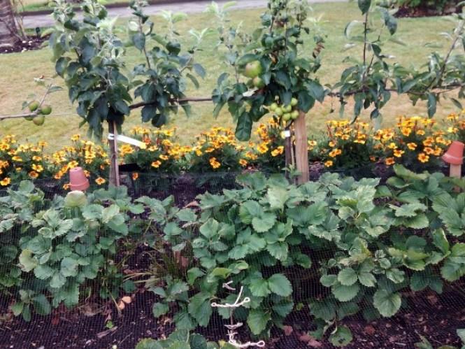 Cultivo de fresas enmallado, para evitar ser comidas por los pájaros, junto a una hilera de plantas protectoras contra plagas y manzanos en espaldera en Kew on a Plate Kitchen Garden