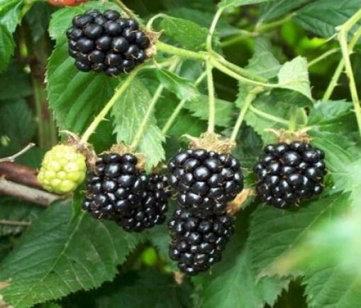 plantas silvestres comestibles: Moras en el huerto