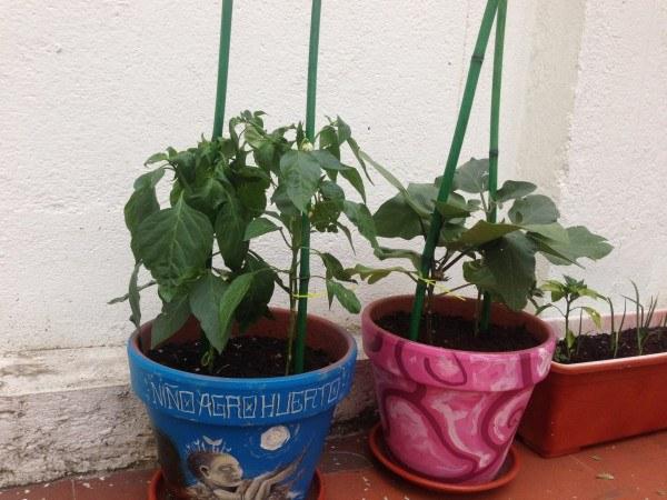 El peso de los frutos pueden llegar a tronchar el tallo principal. Por eso es muy importante realizar un entutorado de plantas en maceta.