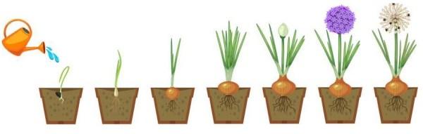 cultivar cebollas