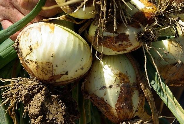 Cebolla en el huerto